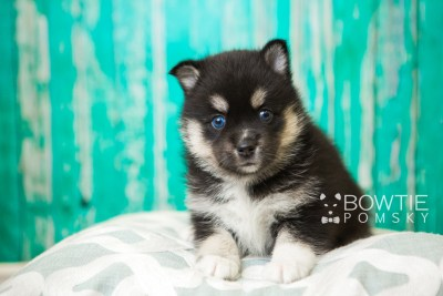 puppy48 week5 BowTiePomsky.com Bowtie Pomsky Puppy For Sale Husky Pomeranian Mini Dog Spokane WA Breeder Blue Eyes Pomskies web5
