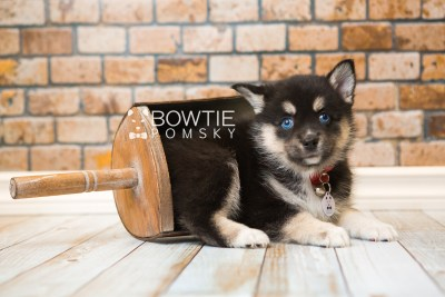puppy48 week7 BowTiePomsky.com Bowtie Pomsky Puppy For Sale Husky Pomeranian Mini Dog Spokane WA Breeder Blue Eyes Pomskies web3