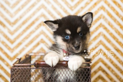 puppy48 week7 BowTiePomsky.com Bowtie Pomsky Puppy For Sale Husky Pomeranian Mini Dog Spokane WA Breeder Blue Eyes Pomskies web5