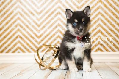 puppy48 week7 BowTiePomsky.com Bowtie Pomsky Puppy For Sale Husky Pomeranian Mini Dog Spokane WA Breeder Blue Eyes Pomskies web6