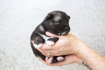 puppy49 week3 BowTiePomsky.com Bowtie Pomsky Puppy For Sale Husky Pomeranian Mini Dog Spokane WA Breeder Blue Eyes Pomskies web4