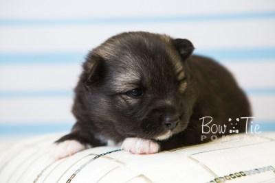 puppy49 week3 BowTiePomsky.com Bowtie Pomsky Puppy For Sale Husky Pomeranian Mini Dog Spokane WA Breeder Blue Eyes Pomskies web6