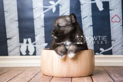 puppy49 week5 BowTiePomsky.com Bowtie Pomsky Puppy For Sale Husky Pomeranian Mini Dog Spokane WA Breeder Blue Eyes Pomskies web1