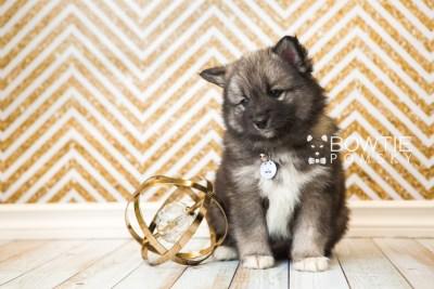 puppy49 week7 BowTiePomsky.com Bowtie Pomsky Puppy For Sale Husky Pomeranian Mini Dog Spokane WA Breeder Blue Eyes Pomskies web1