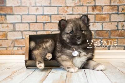 puppy49 week7 BowTiePomsky.com Bowtie Pomsky Puppy For Sale Husky Pomeranian Mini Dog Spokane WA Breeder Blue Eyes Pomskies web3
