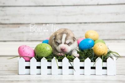 puppy50 week1 BowTiePomsky.com Bowtie Pomsky Puppy For Sale Husky Pomeranian Mini Dog Spokane WA Breeder Blue Eyes Pomskies web2