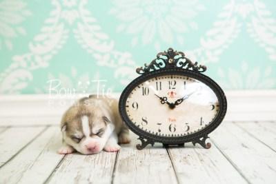 puppy50 week1 BowTiePomsky.com Bowtie Pomsky Puppy For Sale Husky Pomeranian Mini Dog Spokane WA Breeder Blue Eyes Pomskies web5