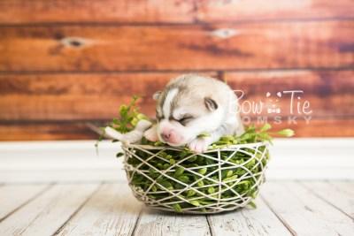 puppy50 week1 BowTiePomsky.com Bowtie Pomsky Puppy For Sale Husky Pomeranian Mini Dog Spokane WA Breeder Blue Eyes Pomskies web6