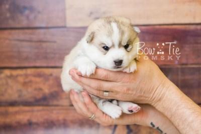 puppy50 week3 BowTiePomsky.com Bowtie Pomsky Puppy For Sale Husky Pomeranian Mini Dog Spokane WA Breeder Blue Eyes Pomskies web3