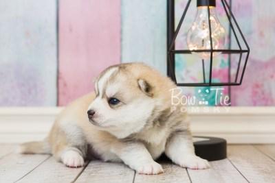 puppy50 week3 BowTiePomsky.com Bowtie Pomsky Puppy For Sale Husky Pomeranian Mini Dog Spokane WA Breeder Blue Eyes Pomskies web6