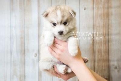 puppy50 week5 BowTiePomsky.com Bowtie Pomsky Puppy For Sale Husky Pomeranian Mini Dog Spokane WA Breeder Blue Eyes Pomskies web1