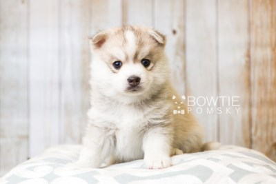 puppy50 week5 BowTiePomsky.com Bowtie Pomsky Puppy For Sale Husky Pomeranian Mini Dog Spokane WA Breeder Blue Eyes Pomskies web2