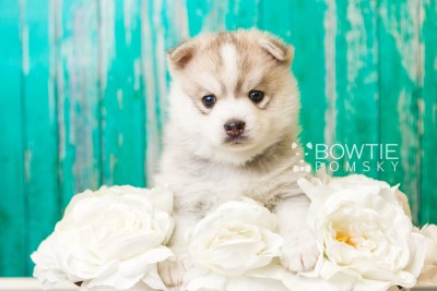 puppy50 week5 BowTiePomsky.com Bowtie Pomsky Puppy For Sale Husky Pomeranian Mini Dog Spokane WA Breeder Blue Eyes Pomskies web6