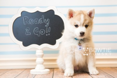 puppy50 week7 BowTiePomsky.com Bowtie Pomsky Puppy For Sale Husky Pomeranian Mini Dog Spokane WA Breeder Blue Eyes Pomskies web1