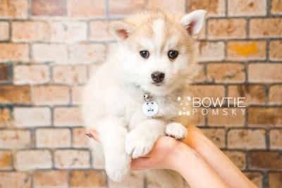 puppy50 week7 BowTiePomsky.com Bowtie Pomsky Puppy For Sale Husky Pomeranian Mini Dog Spokane WA Breeder Blue Eyes Pomskies web4