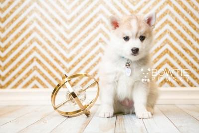 puppy50 week7 BowTiePomsky.com Bowtie Pomsky Puppy For Sale Husky Pomeranian Mini Dog Spokane WA Breeder Blue Eyes Pomskies web5