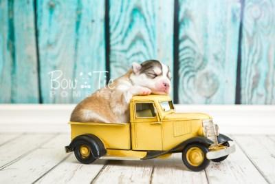 puppy51 week1 BowTiePomsky.com Bowtie Pomsky Puppy For Sale Husky Pomeranian Mini Dog Spokane WA Breeder Blue Eyes Pomskies web2