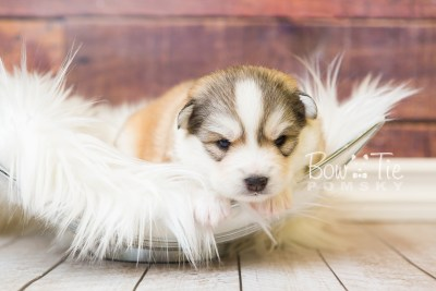 puppy51 week3 BowTiePomsky.com Bowtie Pomsky Puppy For Sale Husky Pomeranian Mini Dog Spokane WA Breeder Blue Eyes Pomskies web3