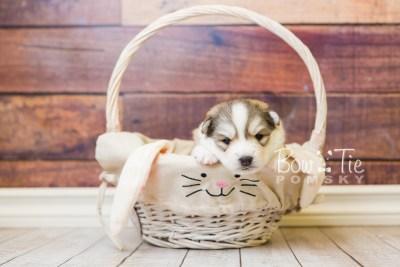 puppy51 week3 BowTiePomsky.com Bowtie Pomsky Puppy For Sale Husky Pomeranian Mini Dog Spokane WA Breeder Blue Eyes Pomskies web4