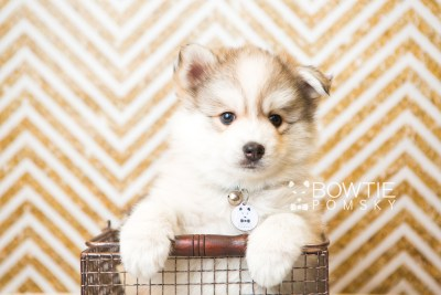 puppy51 week7 BowTiePomsky.com Bowtie Pomsky Puppy For Sale Husky Pomeranian Mini Dog Spokane WA Breeder Blue Eyes Pomskies web1