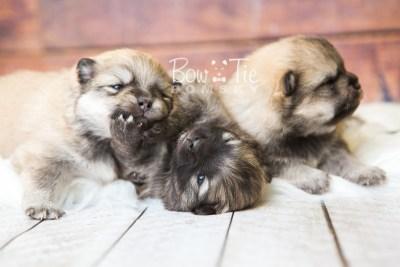puppy52-54 week3 BowTiePomsky.com Bowtie Pomsky Puppy For Sale Husky Pomeranian Mini Dog Spokane WA Breeder Blue Eyes Pomskies web2