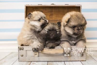 puppy52-54 week5 BowTiePomsky.com Bowtie Pomsky Puppy For Sale Husky Pomeranian Mini Dog Spokane WA Breeder Blue Eyes Pomskies web