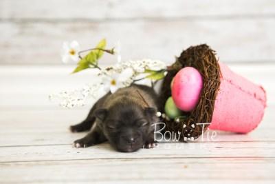 puppy52 week1 BowTiePomsky.com Bowtie Pomsky Puppy For Sale Husky Pomeranian Mini Dog Spokane WA Breeder Blue Eyes Pomskies web3