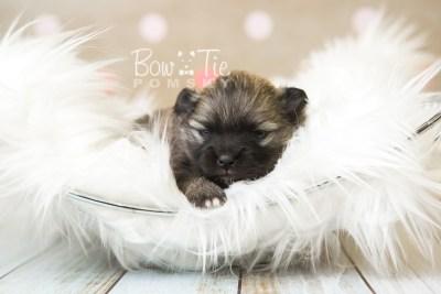 puppy52 week3 BowTiePomsky.com Bowtie Pomsky Puppy For Sale Husky Pomeranian Mini Dog Spokane WA Breeder Blue Eyes Pomskies web1