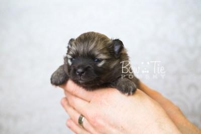 puppy52 week3 BowTiePomsky.com Bowtie Pomsky Puppy For Sale Husky Pomeranian Mini Dog Spokane WA Breeder Blue Eyes Pomskies web6