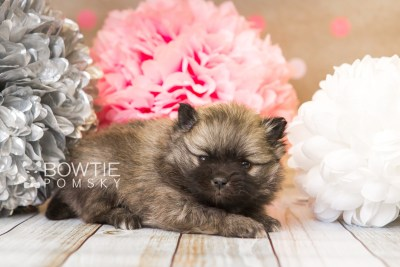 puppy52 week5 BowTiePomsky.com Bowtie Pomsky Puppy For Sale Husky Pomeranian Mini Dog Spokane WA Breeder Blue Eyes Pomskies web1