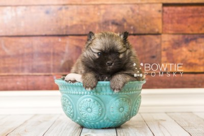 puppy52 week5 BowTiePomsky.com Bowtie Pomsky Puppy For Sale Husky Pomeranian Mini Dog Spokane WA Breeder Blue Eyes Pomskies web3