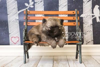 puppy52 week5 BowTiePomsky.com Bowtie Pomsky Puppy For Sale Husky Pomeranian Mini Dog Spokane WA Breeder Blue Eyes Pomskies web5