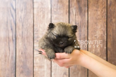 puppy52 week5 BowTiePomsky.com Bowtie Pomsky Puppy For Sale Husky Pomeranian Mini Dog Spokane WA Breeder Blue Eyes Pomskies web6
