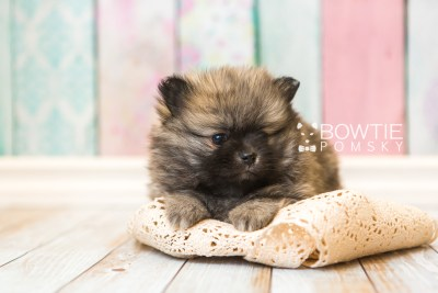 puppy52 week7 BowTiePomsky.com Bowtie Pomsky Puppy For Sale Husky Pomeranian Mini Dog Spokane WA Breeder Blue Eyes Pomskies web2