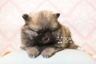 puppy52 week7 BowTiePomsky.com Bowtie Pomsky Puppy For Sale Husky Pomeranian Mini Dog Spokane WA Breeder Blue Eyes Pomskies web4
