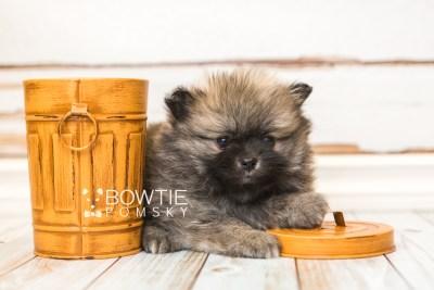 puppy52 week7 BowTiePomsky.com Bowtie Pomsky Puppy For Sale Husky Pomeranian Mini Dog Spokane WA Breeder Blue Eyes Pomskies web5