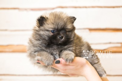 puppy52 week7 BowTiePomsky.com Bowtie Pomsky Puppy For Sale Husky Pomeranian Mini Dog Spokane WA Breeder Blue Eyes Pomskies web6
