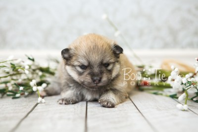 puppy53 week3 BowTiePomsky.com Bowtie Pomsky Puppy For Sale Husky Pomeranian Mini Dog Spokane WA Breeder Blue Eyes Pomskies web3