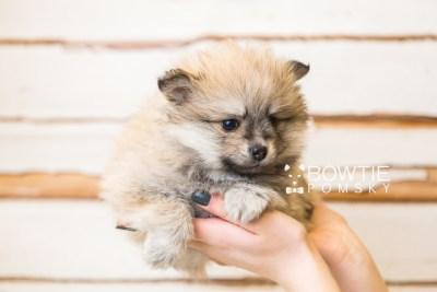 puppy53 week7 BowTiePomsky.com Bowtie Pomsky Puppy For Sale Husky Pomeranian Mini Dog Spokane WA Breeder Blue Eyes Pomskies web1