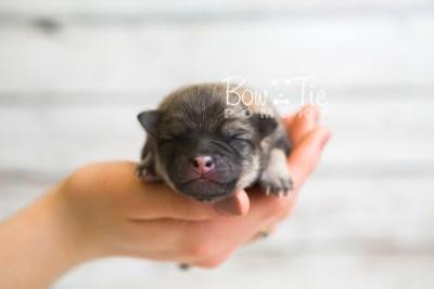 puppy54 week1 BowTiePomsky.com Bowtie Pomsky Puppy For Sale Husky Pomeranian Mini Dog Spokane WA Breeder Blue Eyes Pomskies web2