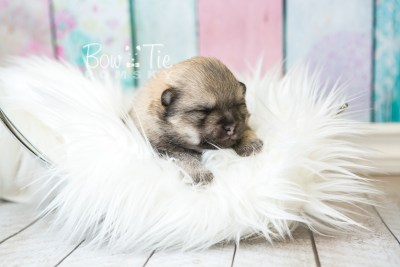 puppy54 week3 BowTiePomsky.com Bowtie Pomsky Puppy For Sale Husky Pomeranian Mini Dog Spokane WA Breeder Blue Eyes Pomskies web5