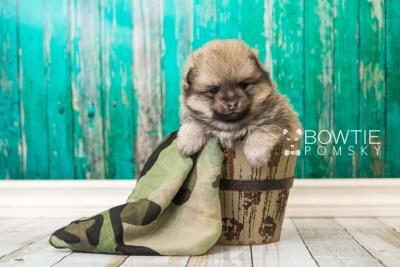 puppy54 week5 BowTiePomsky.com Bowtie Pomsky Puppy For Sale Husky Pomeranian Mini Dog Spokane WA Breeder Blue Eyes Pomskies web2