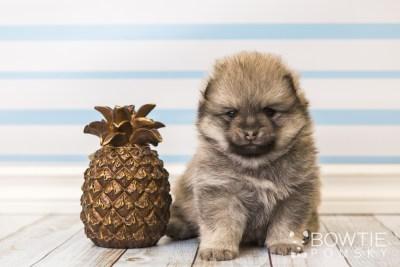 puppy54 week5 BowTiePomsky.com Bowtie Pomsky Puppy For Sale Husky Pomeranian Mini Dog Spokane WA Breeder Blue Eyes Pomskies web4