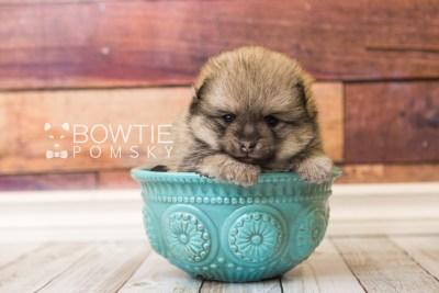puppy54 week5 BowTiePomsky.com Bowtie Pomsky Puppy For Sale Husky Pomeranian Mini Dog Spokane WA Breeder Blue Eyes Pomskies web5