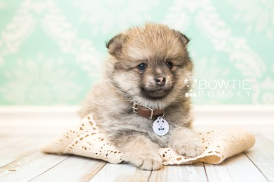 puppy54 week7 BowTiePomsky.com Bowtie Pomsky Puppy For Sale Husky Pomeranian Mini Dog Spokane WA Breeder Blue Eyes Pomskies web4