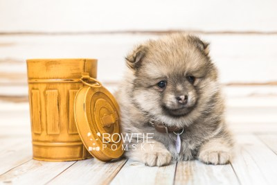 puppy54 week7 BowTiePomsky.com Bowtie Pomsky Puppy For Sale Husky Pomeranian Mini Dog Spokane WA Breeder Blue Eyes Pomskies web5