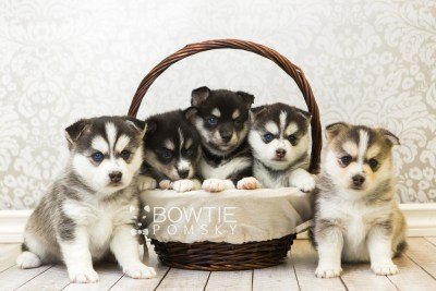 puppy55-59 week5 BowTiePomsky.com Bowtie Pomsky Puppy For Sale Husky Pomeranian Mini Dog Spokane WA Breeder Blue Eyes Pomskies web