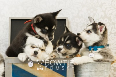 puppy55-59 week7 BowTiePomsky.com Bowtie Pomsky Puppy For Sale Husky Pomeranian Mini Dog Spokane WA Breeder Blue Eyes Pomskies web1