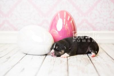 puppy55 week1 BowTiePomsky.com Bowtie Pomsky Puppy For Sale Husky Pomeranian Mini Dog Spokane WA Breeder Blue Eyes Pomskies web3