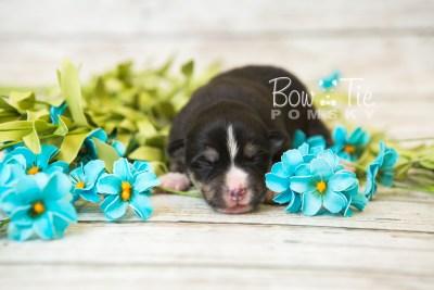 puppy55 week1 BowTiePomsky.com Bowtie Pomsky Puppy For Sale Husky Pomeranian Mini Dog Spokane WA Breeder Blue Eyes Pomskies web4